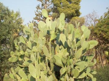 Cactus in Israel